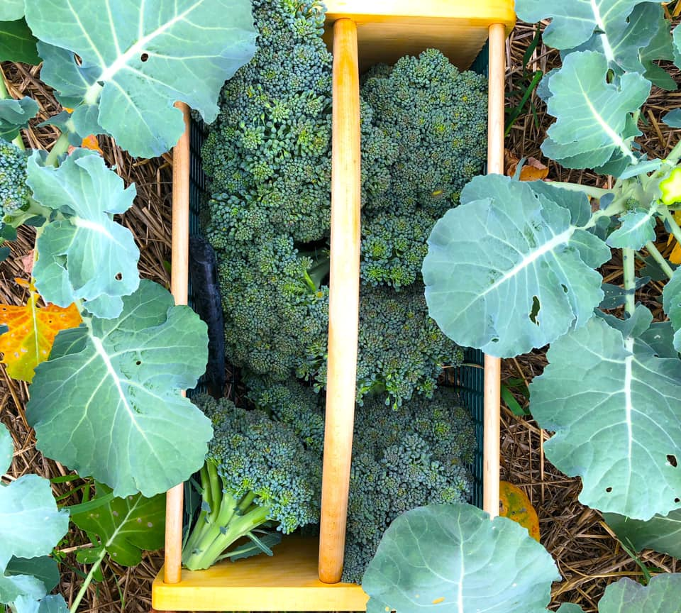 Raiquee's 2019 garden thread!-broccolibasket.jpg