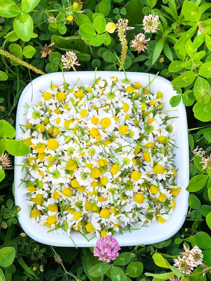 Raiquee's 2019 garden thread!-chamomile.jpg