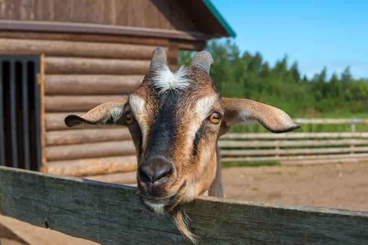 Ever Thought About Raising Goats?
