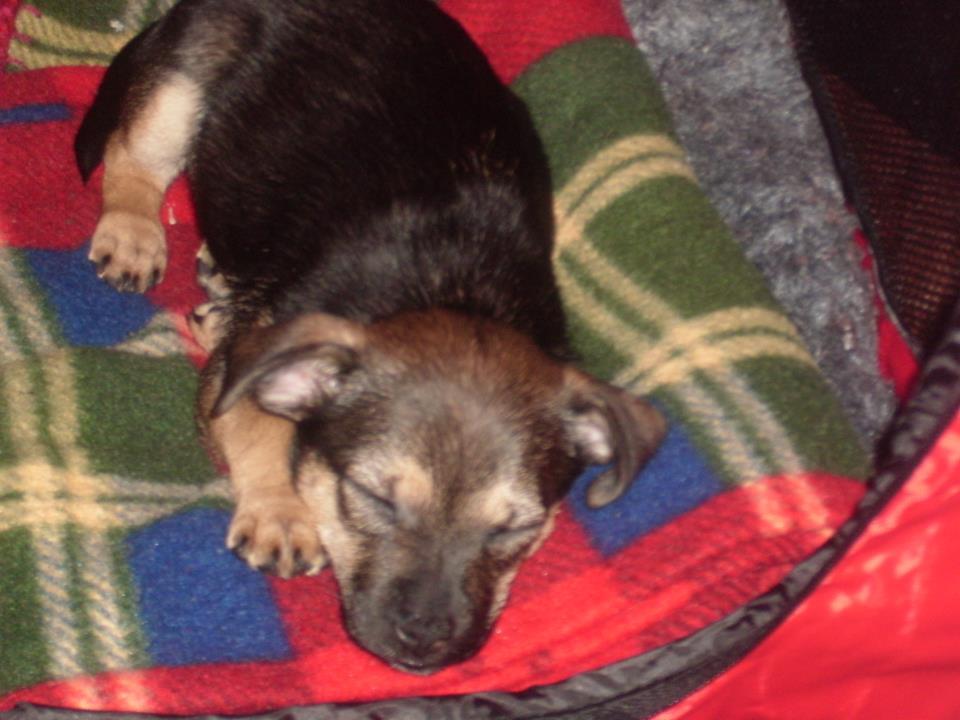 My newest family member-sleeping-puppy.jpg