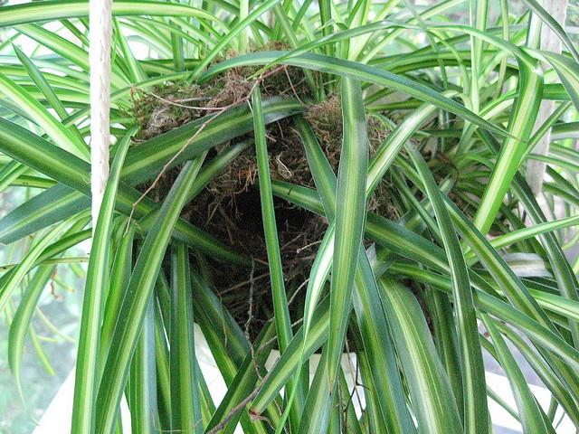 spiderplant1